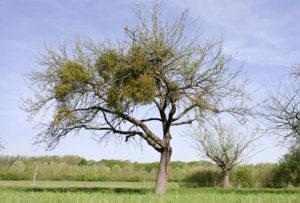 Apfelbaum mit Misteln